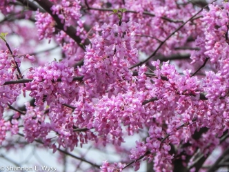 Redbud flowers, Hyattsville, Maryland